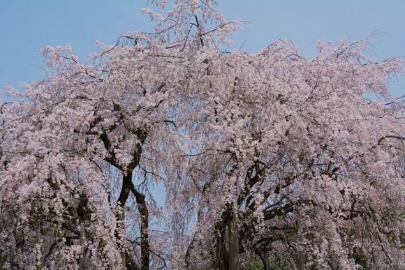 春の花-4