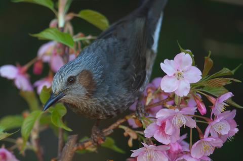140308_庭の桜ヒヨドリ009
