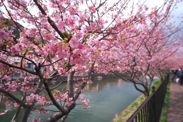 200209_河津桜ツーリング06s