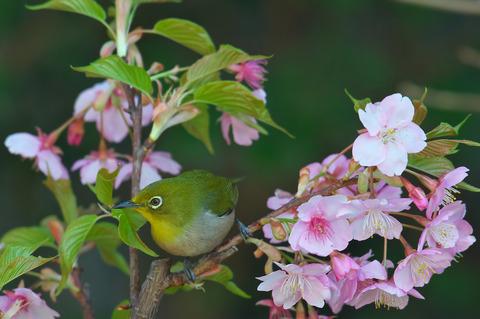 140308_庭の桜メジロ068