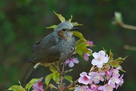140308_庭の桜ヒヨドリ244