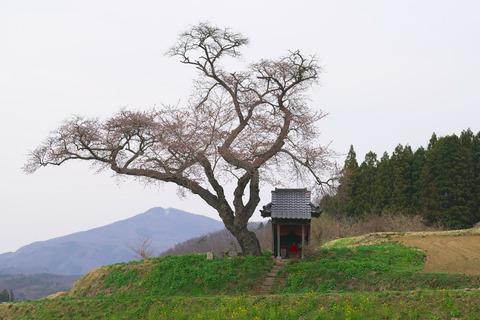 1303414-06_小沢の桜17_01