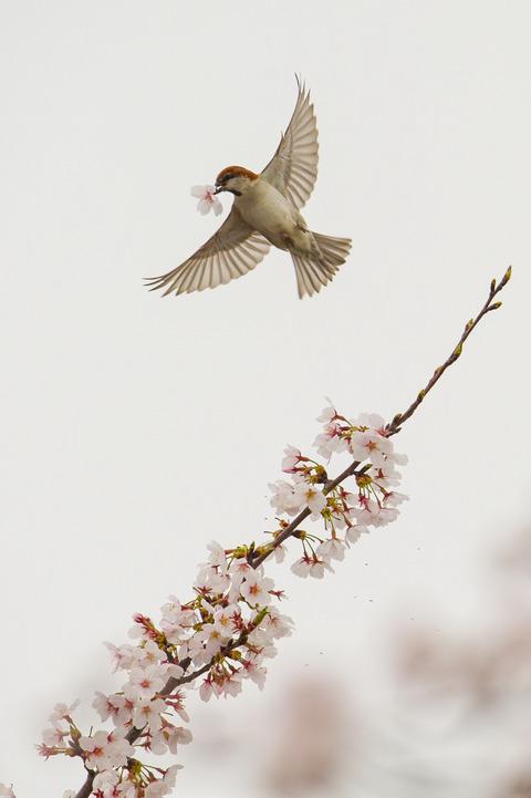 130330_桜ニュウナイスズメ016-L_01