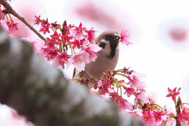 160206_桜スズメ02s