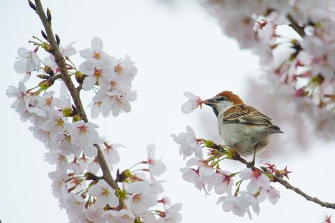130330_桜ニュウナイスズメ066-L_01