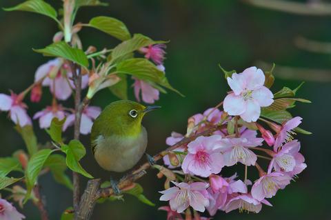 140308_庭の桜メジロ075
