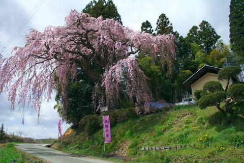 1303413-02_馬場の桜14_01