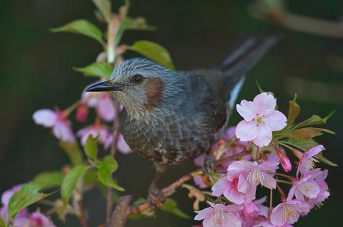 140308_庭の桜ヒヨドリ010