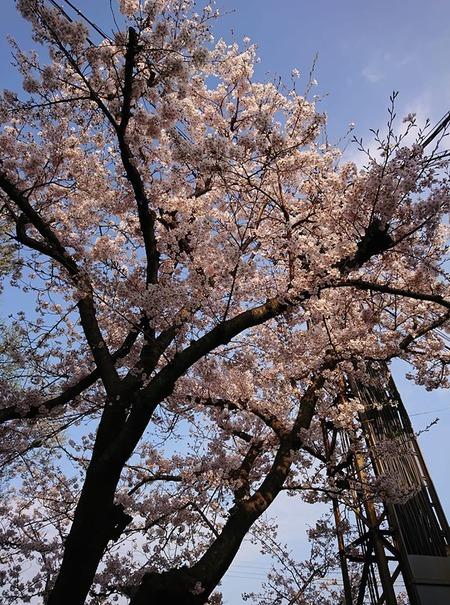 大和の桜2020
