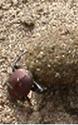 フンコロガシ