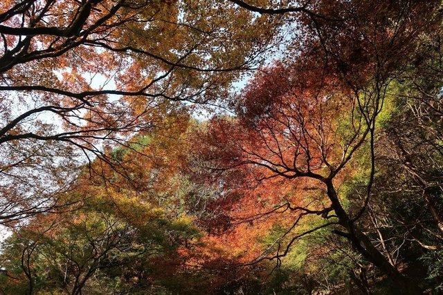 京都紅葉前線2018