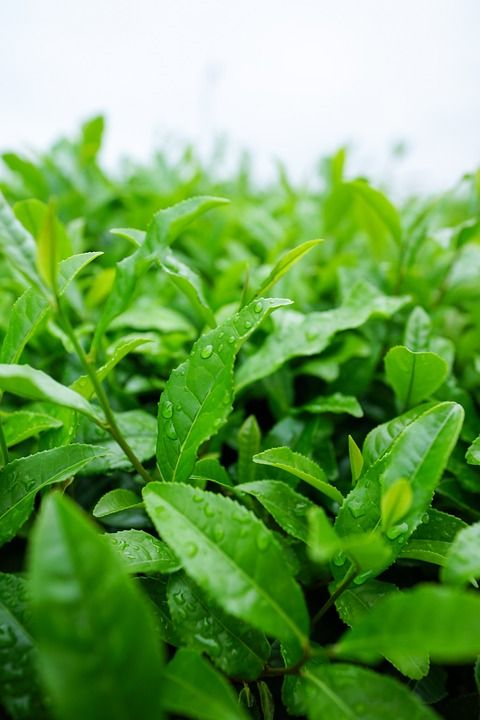 japanese-tea-727459_960_720