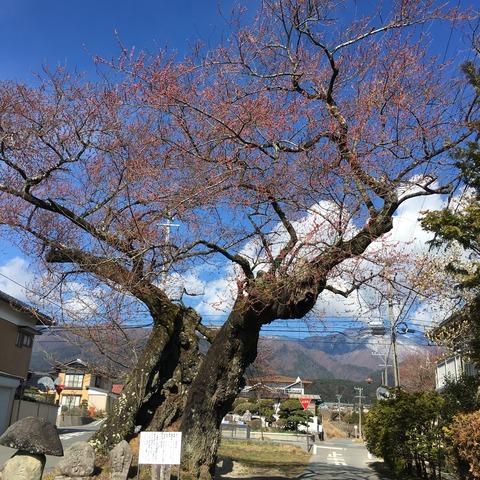 4月1日原田の桜2