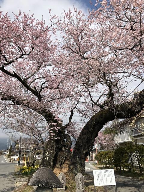 原田の桜 0408