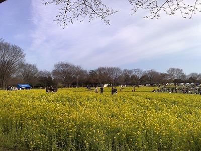 昭和記念公園花見2