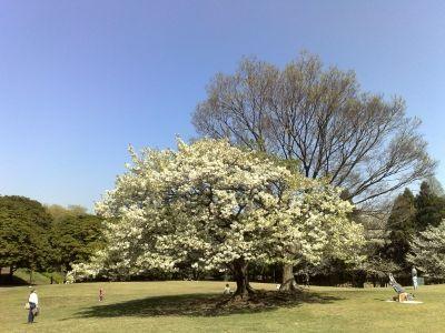 ロードバイクツーリング桜、根岸、本牧 (3)s