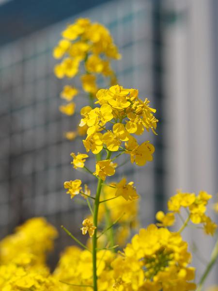 菜の花と東京汐留ビル