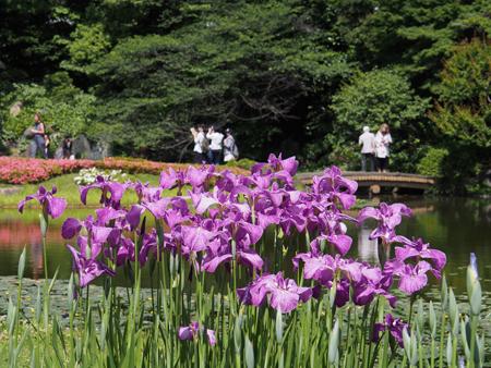 二の丸庭園の花菖蒲
