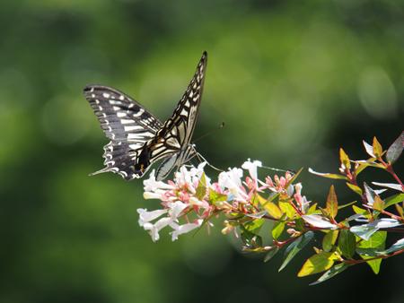 アベリアの花に飛来したアゲハ
