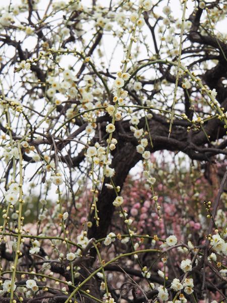 小村井香取神社の枝垂れ梅