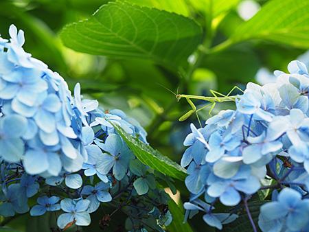 カマキリと紫陽花