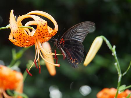 オニユリの蜜を吸うオスのナガサキアゲハ