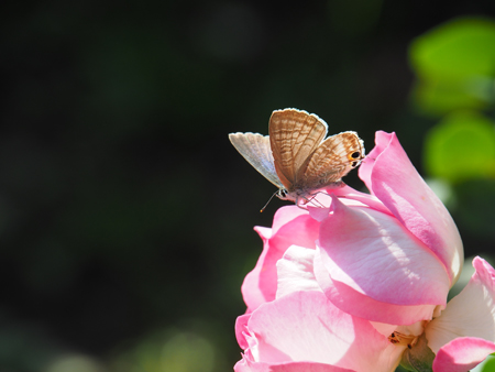 バラに止まるウラナミシジミ