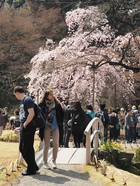 枝垂れ桜と橋