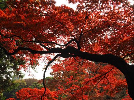 六義園の紅葉したモミジ