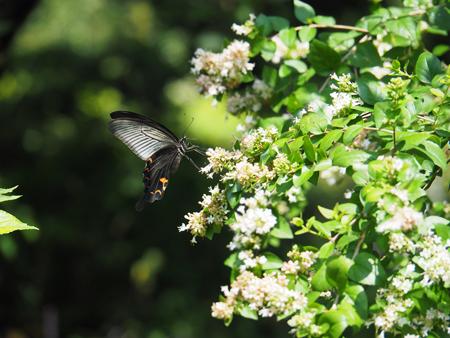 地味な花に来ているクロアゲハ