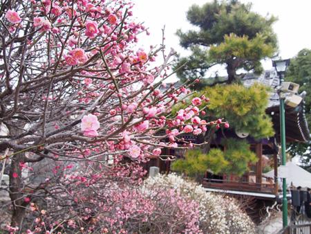 小村井香取神社 境内の梅
