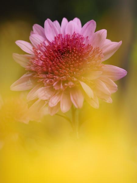 向島百花園の菊