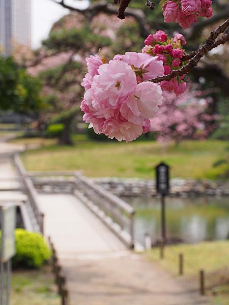 八重桜と橋