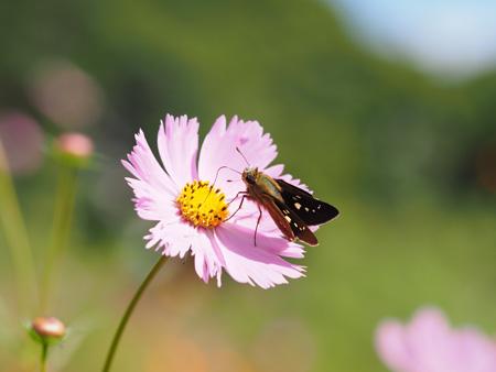 コスモスで蜜を吸うイチモンジセセリ