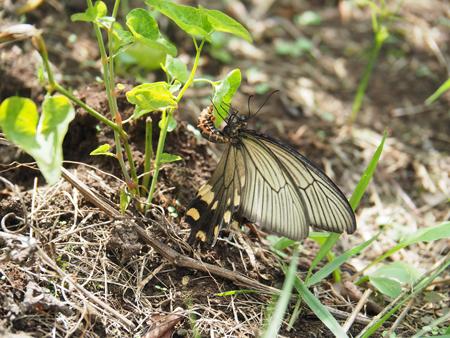 ウマノスズクサに産卵するジャコウアゲハ