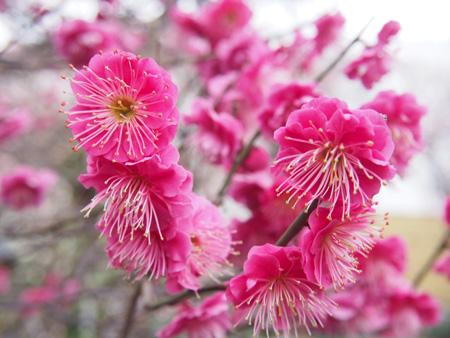 小村井香取神社の紅梅
