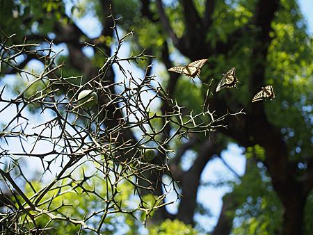 木の周囲を飛ぶアゲハ