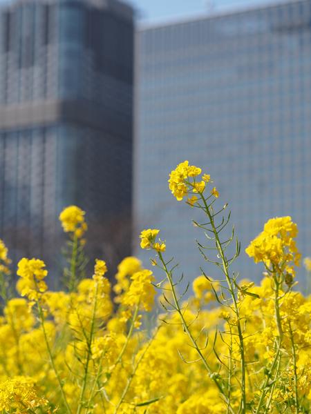 菜の花と日通本社ビル