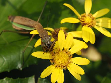 ミツバチを仕留めたカマキリ