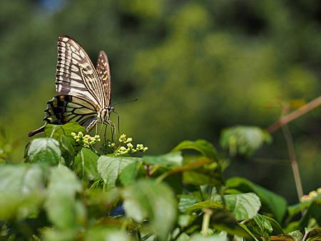 ヤブカラシの蜜を吸うナミアゲハ