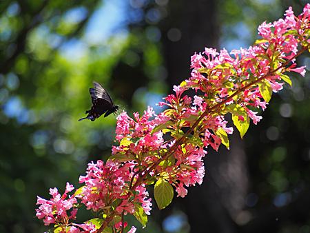 ピンクの花に来たカラスアゲハ(小石川植物園)