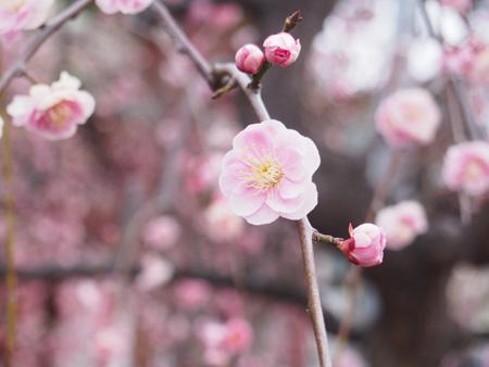 亀戸天神 境内の梅