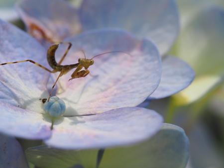 紫陽花で獲物を狙う小さなカマキリ