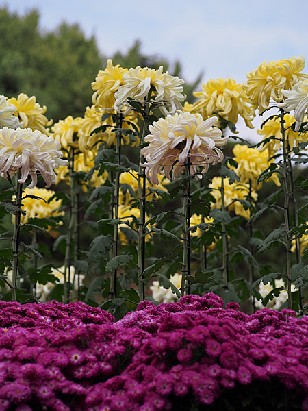 日本庭園の菊