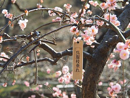 様々な品種がある小石川後楽園の梅
