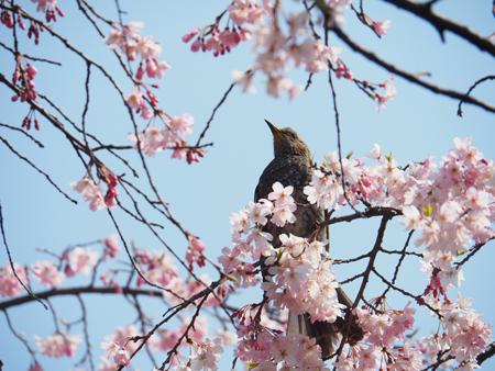 枝垂れ桜とヒヨドリ