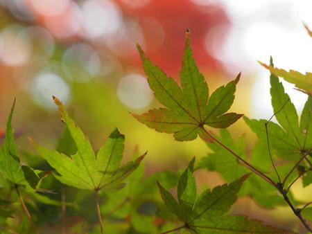 まだ、緑の葉もある。