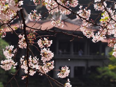 桜と台湾閣