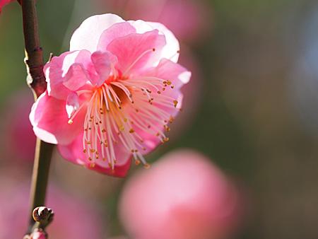 芝離宮の梅