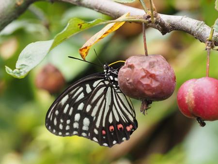イヌリンゴの蜜を吸っているところ